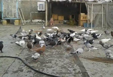 قفس کبوترها